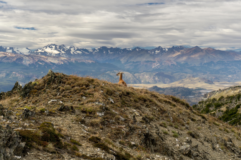 Guanaco_Parque Patagonia