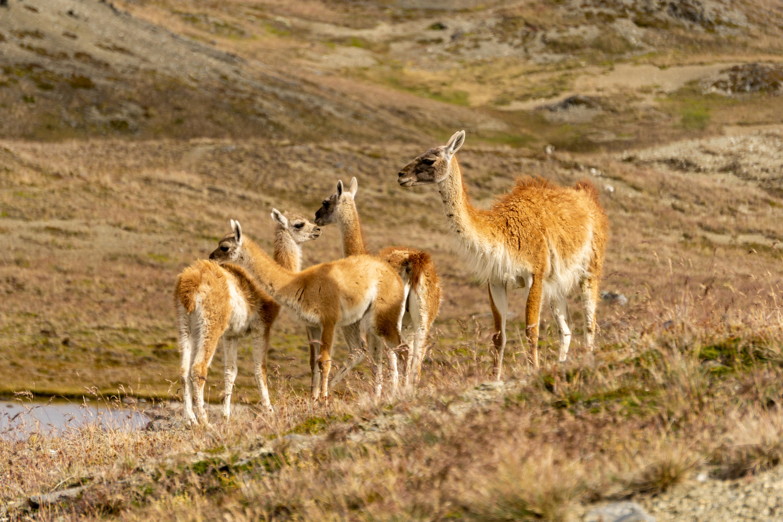 Guanacos_Parque Patagonia